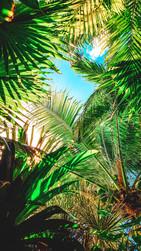 Curacao Palm Trees