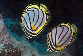 Meyers koraalvlinder, Chaetodon meyeri37