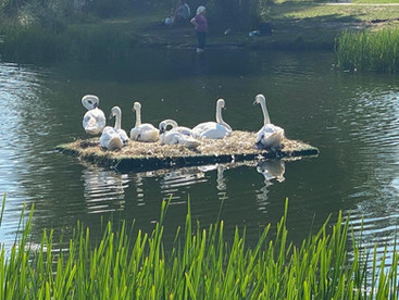 Запустили лебедей в парке митино.