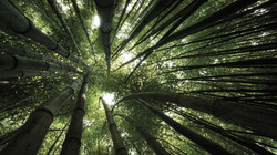 bamboo_trees_crones_from_below_4823_3840