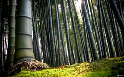 foresta-di-bambu-170855.jpg