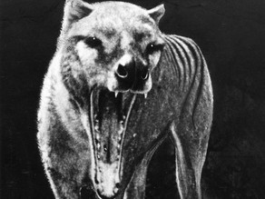 5. Tasmanian Tiger Never Went Extinct