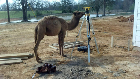 Camel interested in the leveling equipment