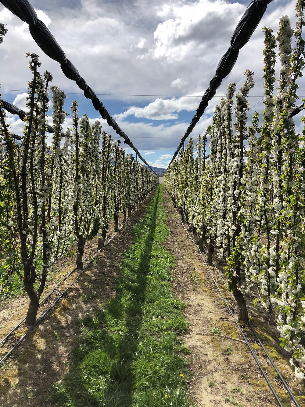 Mature UFO Orchard in Blossom