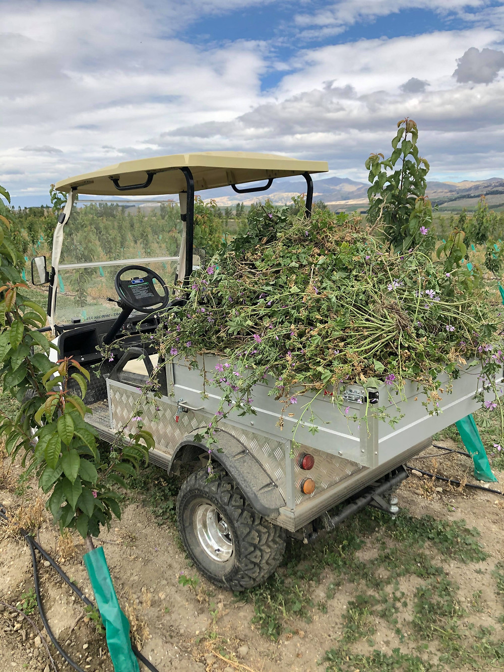 Carting away unwanted Mallow weed in the golf cart