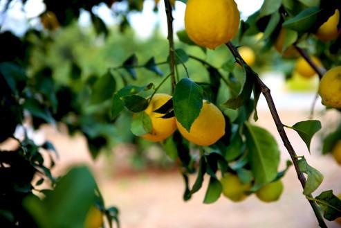 לימון - Copy.jpg
