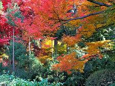 שלכת בקיוטו