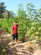 מטע עצי תות נייר בעמקא