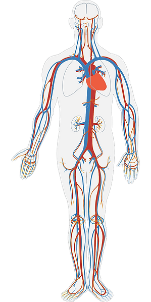human-body-311864_1280.png