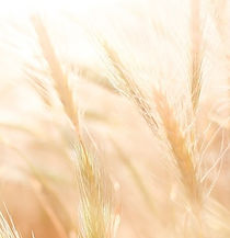 wheat-865098_1280_edited.jpg