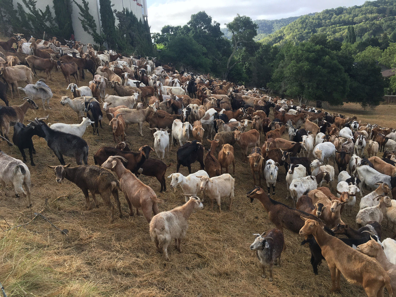 Landscaping goats helping to clear the brush!