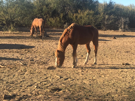 All about the Salt River Wild Horses