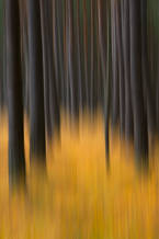 Beneath the pine trees V