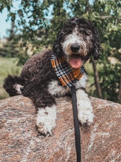 _sterling_the_sheepadoodle