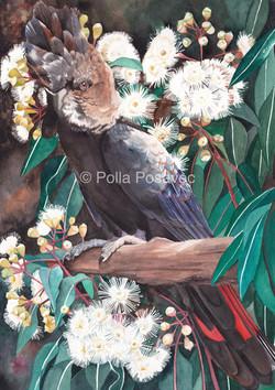 black cockatoo on marri