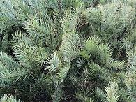 concolor fir.jpg