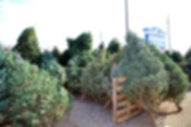 tree lot.jpg