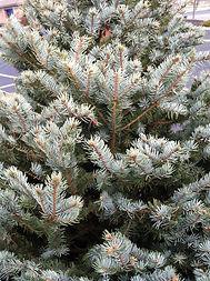 blue spruce.jpg