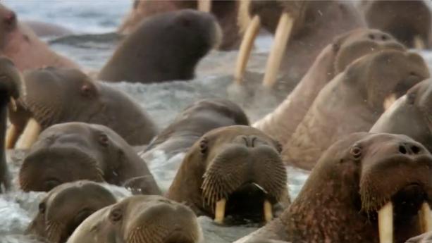 """Honda- """"Walruses"""""""