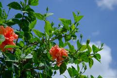 hibiscus - Cape Coral FL