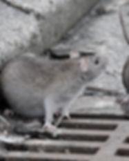 jcs-rattus-norvegicus-35122_web.jpg