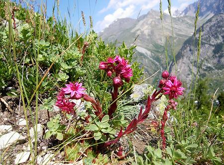 Randonnée flore de montagne, Briançon, Serre Chevalier, Ecrins, La Clarrée