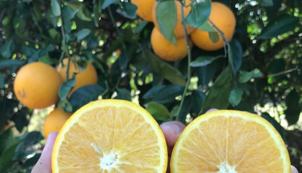Marrs Oranges.jpg