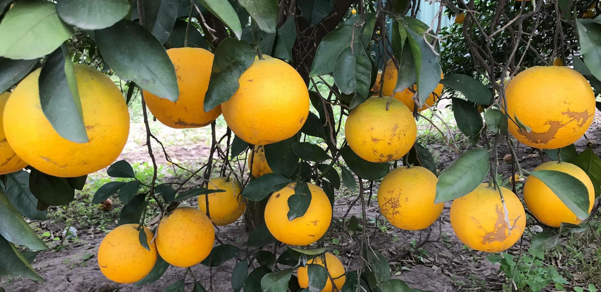 Early Season Oranges 01.JPG