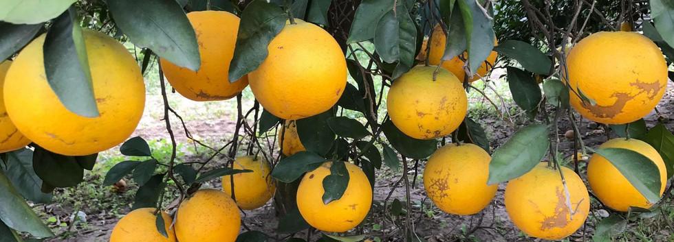 Early Season Oranges 01.JPG