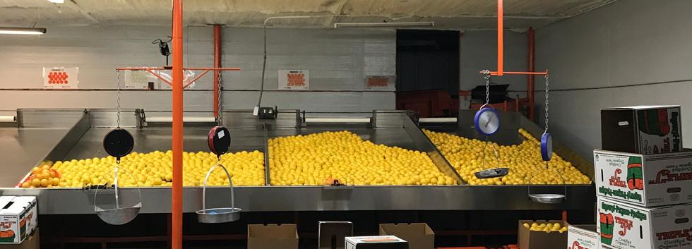 Early Season Oranges.JPG