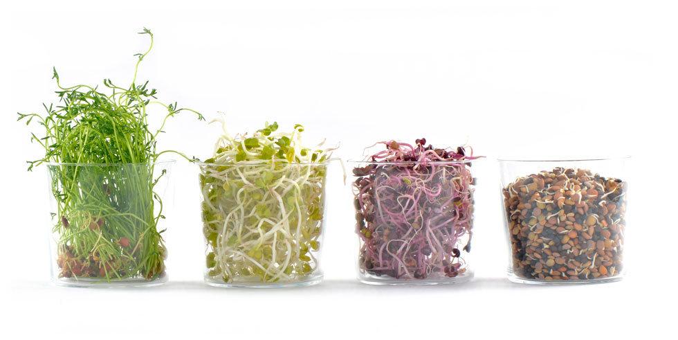 Germogli, microgreens, erbe aromatiche, aromatic herbs