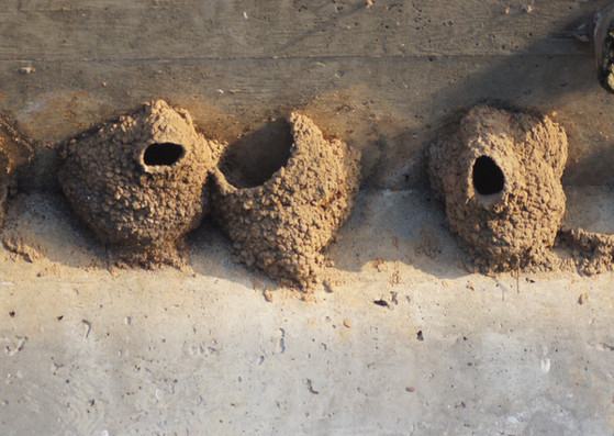 Cliff Swallow Nests.JPG