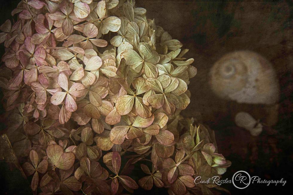 Hydrangea and Seashell