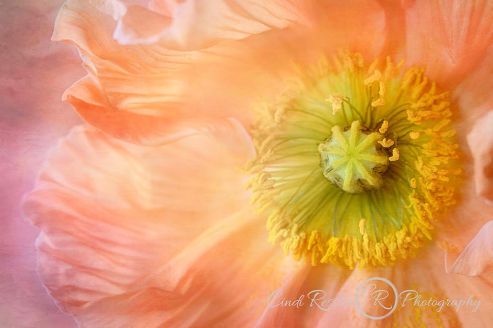 Flowing Poppy Petals