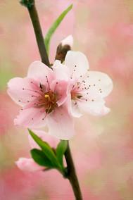 Double Peach Blossom