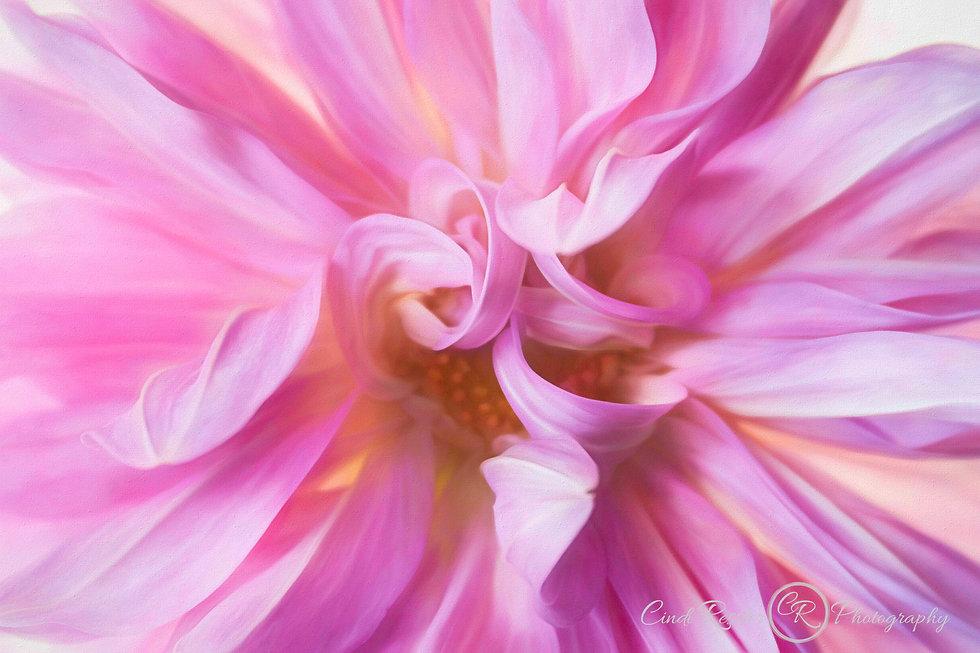 pink-dahlia-IMG_4115.jpg