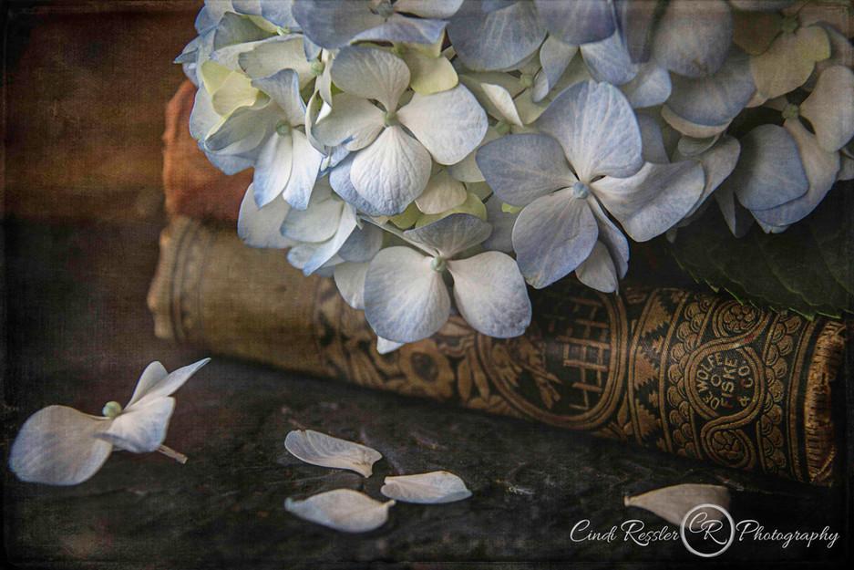 Hydrangea Still Life Photo