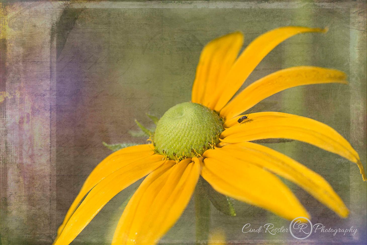 Irish Spring Rudbeckia
