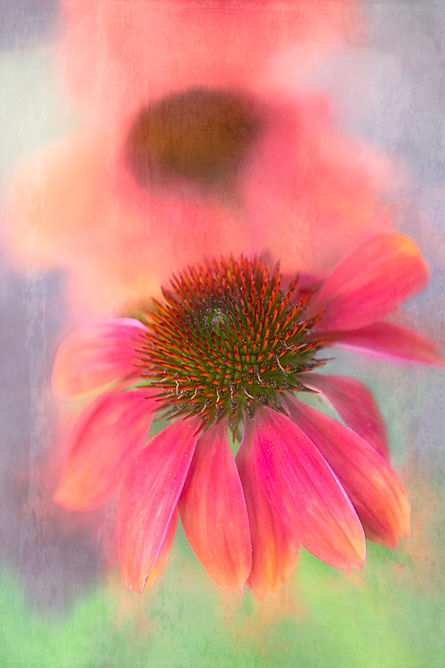coneflower-painterly-4002.jpg