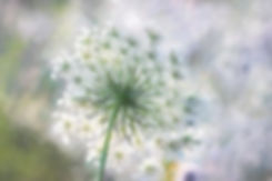 queen-anne-lace-IMG_3725.jpg