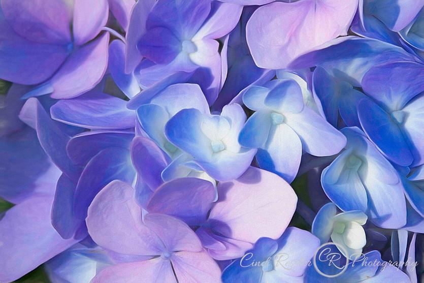 Painterly Hydrangea