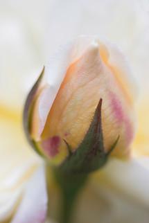 Creamy Yellow Rosebud