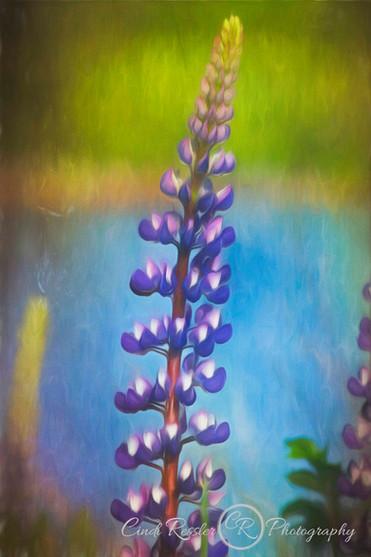 Painterly Lupine