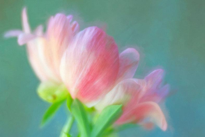 coral-peony-IMG_9526.jpg