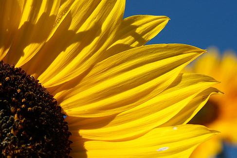 Sunflower on The Left