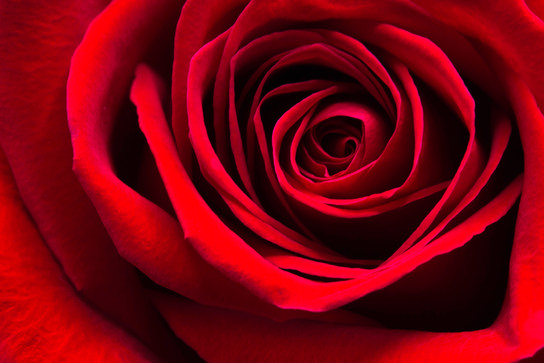 Simply A Red Rose
