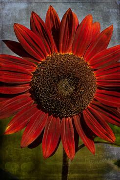 Primitive Sunflower