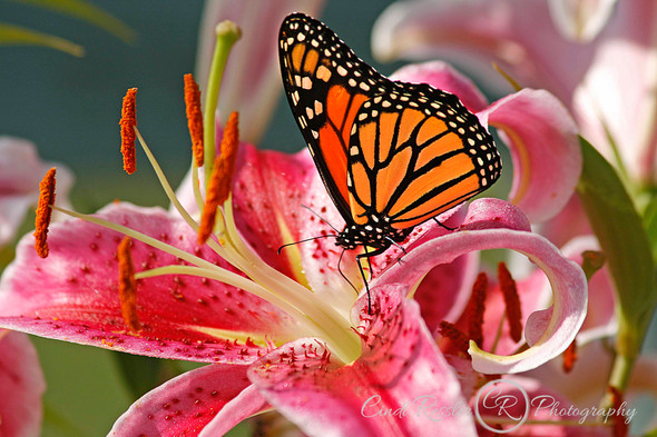 Monarch Butterfly And Stargazer Lily