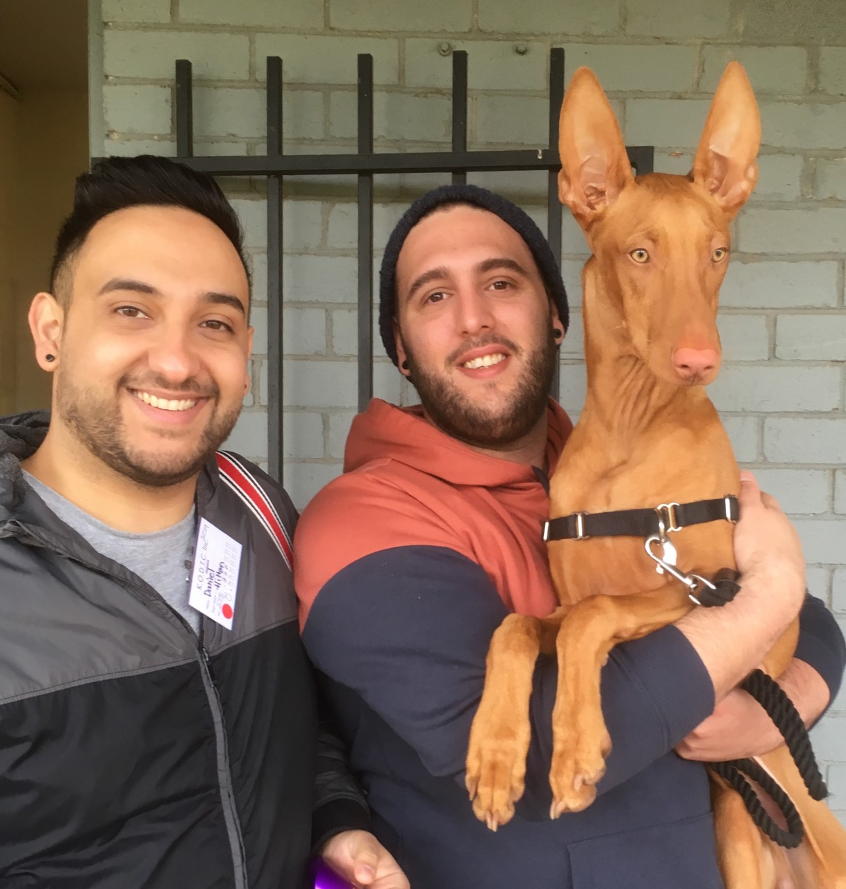 Daniel, Shaun and Hilton pharoah hound 1