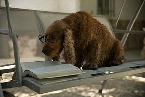 brown_long_coated_dog_lying_on_white_tab